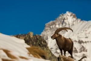 fauna sul Gran Paradiso